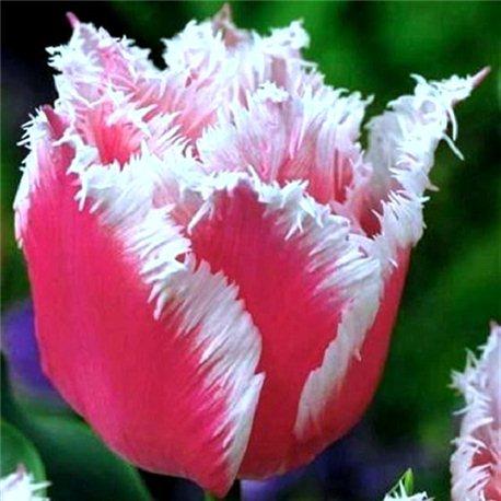 Тюльпан оторочений Bell Song 3 цибулини