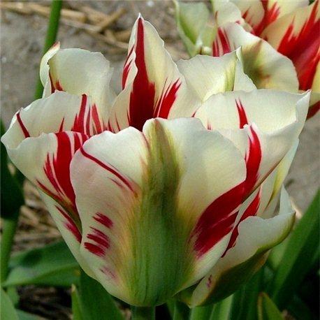 Тюльпан зеленоквітковий Flaming Springgreen 1 цибулина