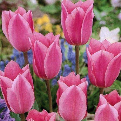 Тюльпан классический ранний Albert Heijn 3 луковицы