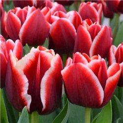 Тюльпан классический триумф Armani 10 луковиц