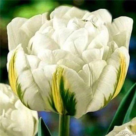 Тюльпан махровий пізній Global Desire 3 цибулини