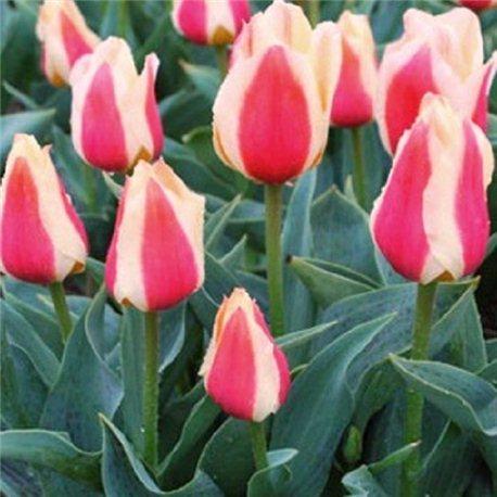 Тюльпан низкий ранний Sylvia Warder 10 луковиц