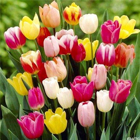 Тюльпан класичний тріумф суміш (дєтка 100 грам)