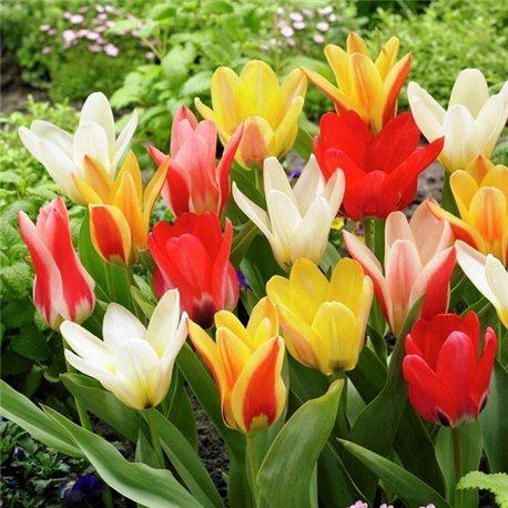 Тюльпан классический ранний микс (детка 100 грамм)