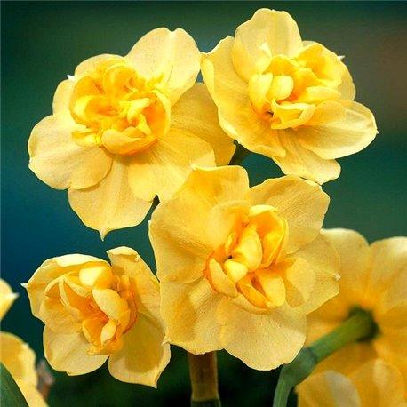 Нарцис махровий багатоквітковий Yellow Cheerfulness 5 цибулин