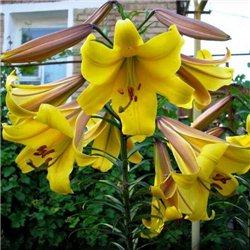 Лілія трубчата Golden Splendour 1 цибулина