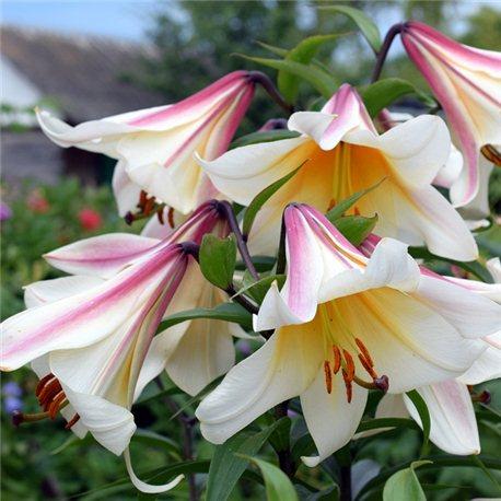 Лилия трубчатая Regale 3 луковицы