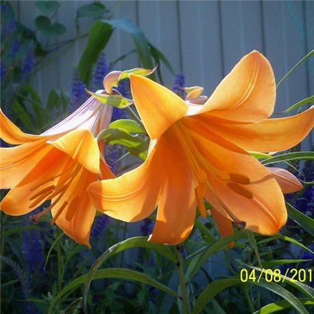 Лілія тигрінум Orange Planet 3 цибулини