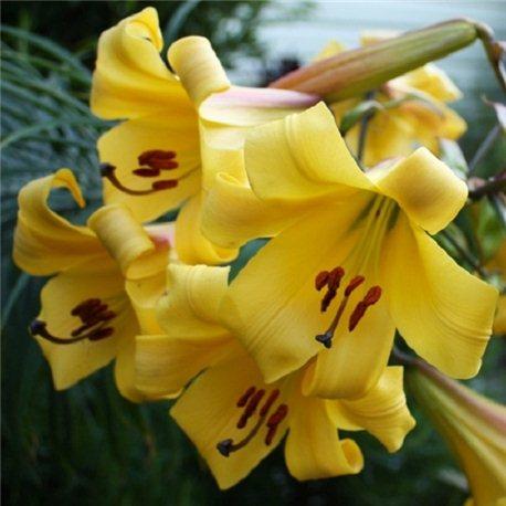 Лілія тигрінум Yellow Planet 3 цибулини