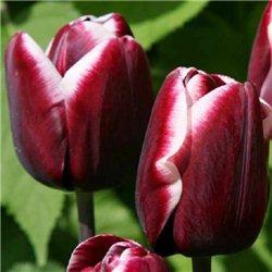 Тюльпан классический триумф Fontainebleau 3 луковицы