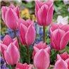 Тюльпан классический ранний Albert Heijn 5 луковиц
