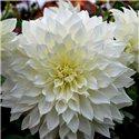 Георгина крупноцветковая декоративная Fleurel