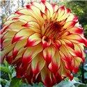 Георгина крупноцветковая декоративная Lady Darlene