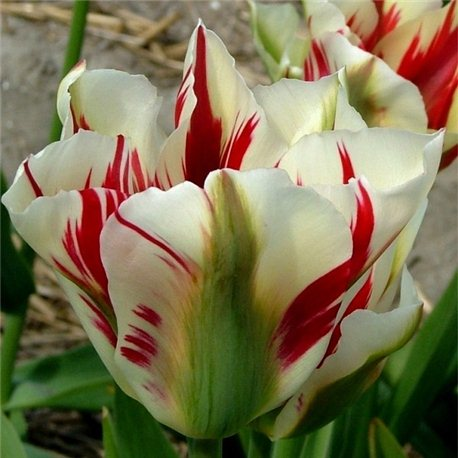 Тюльпан зеленоцветный Flaming Springgreen 3 луковицы
