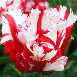 Тюльпан попугайный Estella Rijnveld 3 луковицы