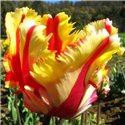 Тюльпан попугаячий Flaming Parrot 1 цибулина