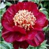 Пион травянистый Nippon Beauty