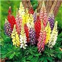 Люпин Russell Hybrids микс 5 растений