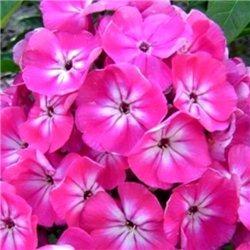 Флокс метельчатый paniculata Annabel 1 растение