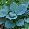 Хоста Courulea Blue 1 рослина