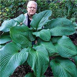 Хоста Kingsize 1 растение