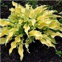 Хоста Ripple Effect (горшочно-садовая) 1 растение