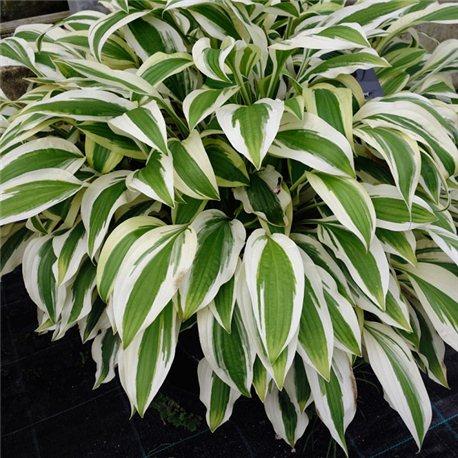 Хоста White Dove 1 растение
