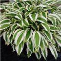 Хоста White Dove (балконно-садовая) 1 растение