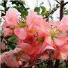 Айва великолепная Chaenomeles sup. Pink Trail 1 саженец