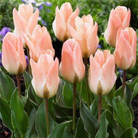 Тюльпан низкий ранний Little Girl 3 луковицы