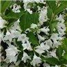 Вейгела гибридная белоснежная Candida 1 саженец