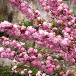 Вишня декоративная (Сакура) Rosea Plena 1 саженец