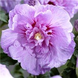 Гібіскус сірійський Lavender Chiffon 1 саджанець
