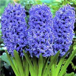 Гиацинт Blue Jacket 3 луковицы
