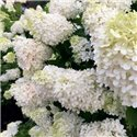 Гортензия метельчатая Grandiflora 1 саженец
