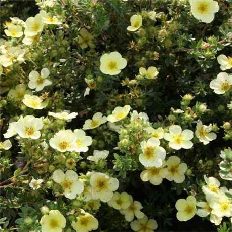 Лапчатка кустарниковая Primrose Beauty 1 саженец