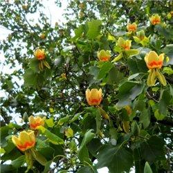 Ліріодендрон Тюльпанне дерево Liriodendron tulipifera 1 саджанець