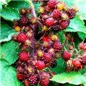Малина японская Rubus phoenicolasius 1 саженец