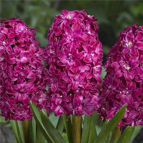 Гиацинт махровый Red Diamond 3 луковицы