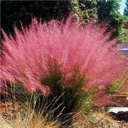 Монарда didyma Pink Lace 1 растение