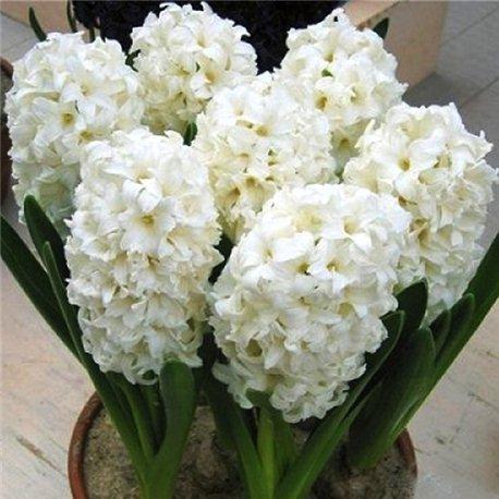Гиацинт махровый Snow Crystal 3 луковицы