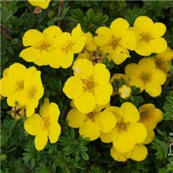 Лапчатка кустарниковая желтая 1 саженец