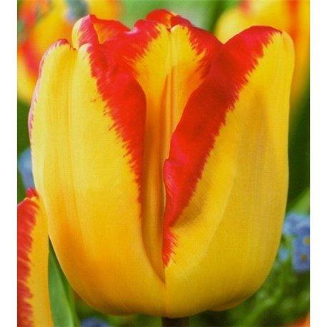 Тюльпан классический Дарвина Banja Luka 2 луковицы