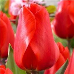 Тюльпан классический Дарвина Lalibela 2 луковицы