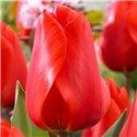 Тюльпан класичний Дарвіна Lalibela 2 цибулини