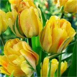 Тюльпан багатоквітковий Aquilla 2 цибулини
