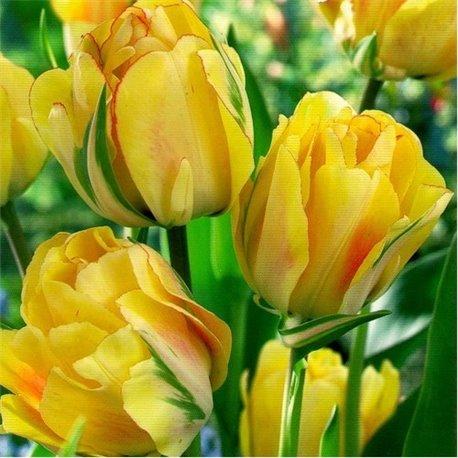 Тюльпан многоцветковый Aquilla 2 луковицы