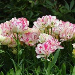 Тюльпан многоцветковый Belicia 2 луковицы