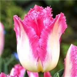 Тюльпан бахромчатый Auxerre 2 луковицы