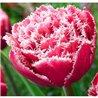 Тюльпан бахромчатый махровый Brest 2 луковицы